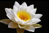 白い睡蓮 — ストック写真
