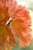 Цветок Кливии — Stock Photo