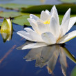 White lily — Stock Photo #2844398