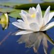 White lily — Stock Photo #2844398