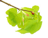 Linden branch with leaflets and bud — Stock Photo