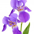 Stock Photo: Flower iris