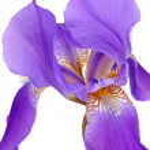 Violet iris — Stock Photo #3107811
