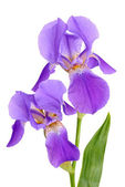 Flower iris — Stock Photo