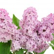 Lilac branch - Stock Photo