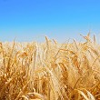 Royalty-Free Stock Photo: Wheat crop