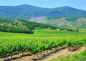 A plantation of grapevines, mountains and blue sky — Stock Photo
