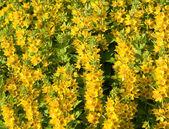 Flowering loosestrife — Stock Photo