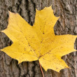 Royalty-Free Stock Photo: Yellow maple leaf on the background of a tree trunk