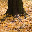 Yellow leaves around a tree in autumn — Stock Photo #3793534