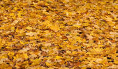 Background of the yellow leaves of autumn — Stock Photo