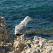 Sea gull looking straight - Stock Photo