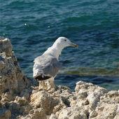 Sea gull looking straight — Stock Photo