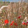 Poppy in wheat field - Stock Photo