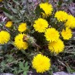 Stock Photo: Dandelions by springtime