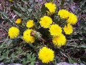 Dandelions by springtime — Stock Photo
