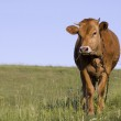 Grazing Cattle on a meadow — Stock Photo