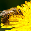 Worker bee gathering pollen from dandelion — Stock Photo