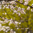 Twig flowering apricot — Stockfoto