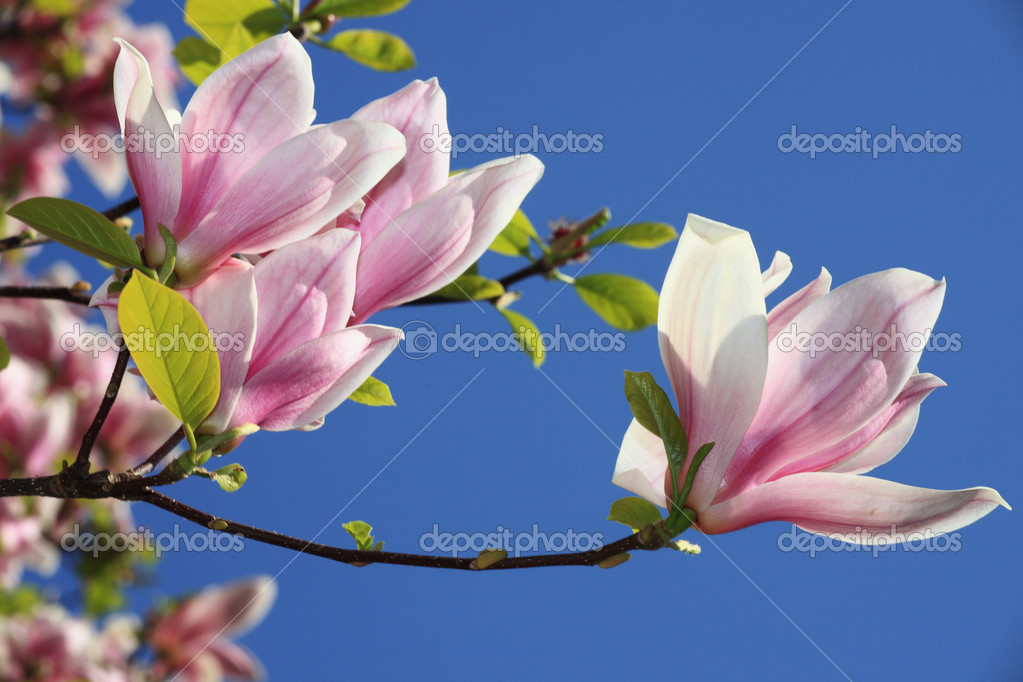 Magnolia flowers stock photo mrs beaver 3066198 for Langage des fleurs