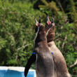 Stock Photo: Singing penguins