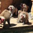 Baboon`s dismantling - Stock Photo