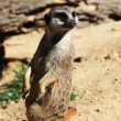 Royalty-Free Stock Photo: Meerkat (Suricata suricatta)