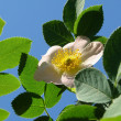 Wild rose - Stock Photo