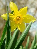 Kwitnienia żonkil — Zdjęcie stockowe