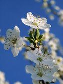 春天开花 — 图库照片