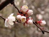Cherry tree bloom — Stock Photo