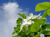 Pear tree bloesem — Stockfoto
