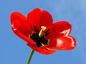 Open red tulip — Stock Photo