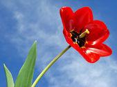 Single tulip — Stock Photo