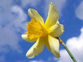 Single daffodil — Stockfoto
