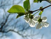 Frühlingsblüte — Stockfoto