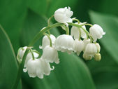 Lily of the valley — Foto de Stock