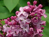 Flowering lilac — Stock Photo
