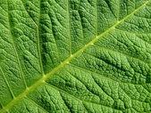 Leaf texture — Foto de Stock