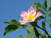 Pink wild rose — Stock Photo