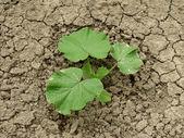 Roślin dyni — Zdjęcie stockowe