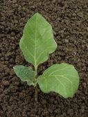 Egg-plant seedling — Stock Photo