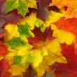 Colorful maple leaves — Stock Photo #3425989