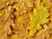橡树叶子背景 — 图库照片