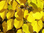 Linden tree leaves — Stock Photo