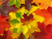 Kolorowe klonowe listowie — Zdjęcie stockowe