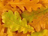 Oak leaves background — 图库照片