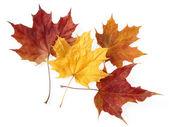 Dry maple leaves — Stock Photo