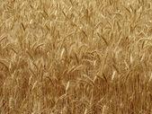 Wheat field fragment — Stock Photo