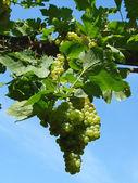 Growing grape — Stock Photo